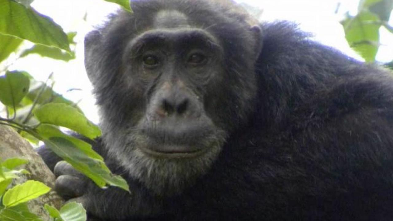 Profile picture for Chimpanzees and Gorilla Trekking – 7 days